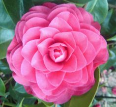 Camellia 'Betty Ridley'