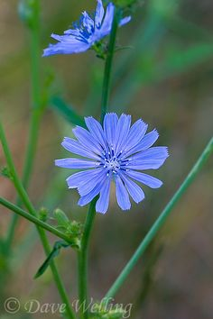 common chicory cichorium intybus is a small ray-like bluish colored flower native wildflower of the eastern sierras foothills in central california Hummingbird Plants, Mandala Artwork, Edible Plants, Flower Aesthetic, Botanical Flowers, Flower Fairies, Growing Flowers, Medicinal Plants, Yellow Roses