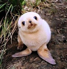 Cute Baby Animals That Will Make You Go 'Aww' Hello - aren't I adorable? Baby Seal you just want to hug him and squeeze him and call him George.Hello - aren't I adorable? Baby Seal you just want to hug him and squeeze him and call him George. Seal Pup, Baby Seal, Seal Seal, Cute Baby Animals, Animals And Pets, Funny Animals, Wild Animals, Newborn Animals, Exotic Animals