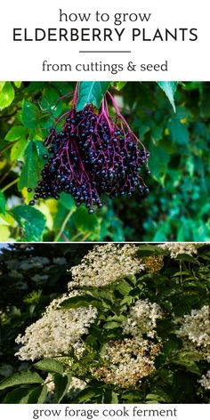 How to Grow Elderberry Plants from Cuttings, Seed, or Starts - Growing elderberry bushes from seed or cuttings is pretty easy once you know how to go about doing it. In this gardening for beginners guide, you'll learn all about growing elderberry plants in the fall gardening season. Gardening Zones, Gardening Hacks, Gardening For Beginners, Organic Gardening, Growing Herbs, Growing Tree, Growing Flowers, Elderberry Plant, Witch Herbs