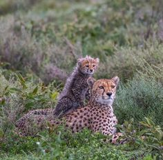 Cheetah by Artur Stankiewicz