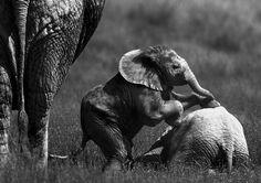 Africa | Elephant calfs playing | © Martyn Colbeck