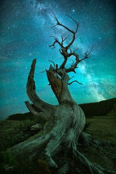Starry skies and ancient bristlecone pine (California) by Dustin Wong on is part of Breathtaking photography - Bristlecone Pine, Conifer Trees, Unique Trees, Nature Pictures, Amazing Nature, Night Skies, Beautiful Landscapes, Cool Photos, Nature Photography