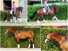 www.HWfarm.com Selected Quality Horses for sale from only the best producing bloodlines. Horses are all sane and tractable with good manners and gorgeous conformation. All are well started and read...