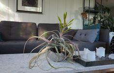 Tillandsia — luftplante som dør etter blomstring. Sofa, Couch, Throw Pillows, Bed, Furniture, Home Decor, Settee, Settee, Toss Pillows