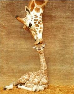 Misha the giraffe that found fame after being captured on photo kissing her first-born calf in Perth Zoo West Australia.