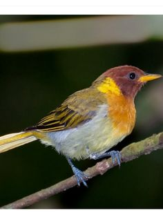 Rufous-headed Tanager, Hemithraupis ruficapilla: BR only: Species Gallery/ Neotropical Birds