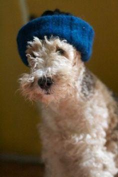 Teo the fox terrier