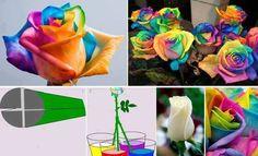 regenbogenrose  wird mit lebensmittelfarbe in wasser gemacht. dauert ca. 1-2 wochen