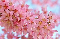 Photograph - Cherry Blossom Pastel by Regina Geoghan