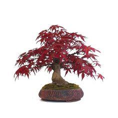 Acheter ce très beau Bonsaï Acer Palmatum Deshojo de 27 cm 140501 importé du Japon chez votre Spécialiste du Bonsai en Ligne, Sankaly Bonsaï
