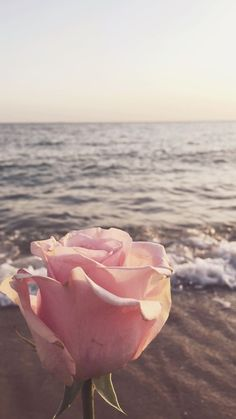 A pink rose by the sunset shore
