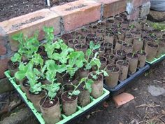 Starting peas or beans off in toilet roll tubes. Just plant the whole thing when they're ready, tube and all.
