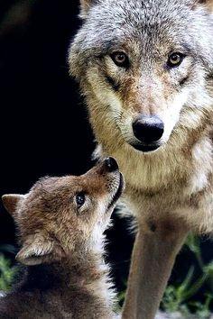 Волчица с волчёнком