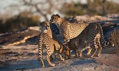 Cheetahs crowd around an interesting scent marking on a rock, South Africa