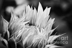 Black And White Sunflower Photograph by K Hines - Black And White Sunflower Fine Art Prints and Posters for Sale #art #photography