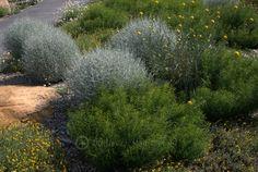 Billy Buttons & cushion bush