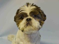 TO BE DESTROYED 7/27/15  Brooklyn Center  My name is CHUBBY. My Animal ID # is A1045005. I am a neutered male white and gray shih tzu mix. The shelter thinks I am about 10 YEARS old.  I came in the shelter as a OWNER SUR on 07/22/2015 from NY 11367, owner surrender reason stated was PERS PROB.