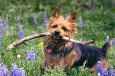 australian terrier | Australian Terrier Puppies For Sale - Puppy Breeders