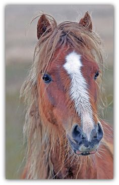 wild pony on the brecon beacons...wales. Most Beautiful Horses, All The Pretty Horses, Pony Breeds, Welsh Pony, Brecon Beacons, Wild Mustangs, Carousel Horses, Cute Animals, Wild Animals