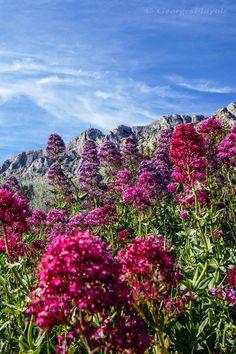 Les Lilas d'Espagne sur Sainte-Victoire    #georgesflayols#phptography#aixenprovence#landscape#nature#valeriane