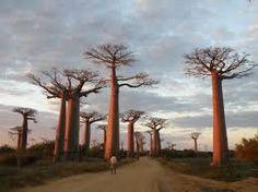 baobab - Buscar con Google