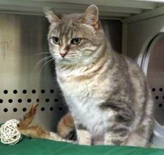 12 / 11    Petango.com – Meet Emmaline, a 3 years 1 month Domestic Medium Hair / Mix available for adoption in MISSION, KS