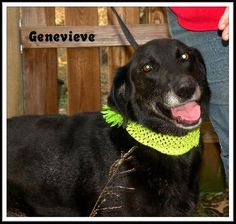 03/01/15-Gennie (Genevieve) Flat-coated Retriever Mix • Adult • Female • Medium Sea Dog Rescue Elizabeth City, NC