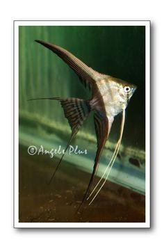 Halfblack Ghost Angelfish from Angels Plus