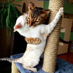 Cats need to be able to scratch so why not save your furniture legs by wrapping sisal around them? Cats need to be able to scratch so why not save your furniture legs by wrapping sisal around them? Cute Funny Animals, Cute Baby Animals, Funny Cats, Funny Humor, Fun Funny, Cute Kittens, Ragdoll Kittens, Tabby Cats, Bengal Cats