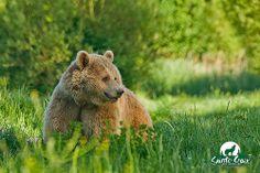 Volga, femelle ours brun d'Europe - Parc de Sainte-Croix