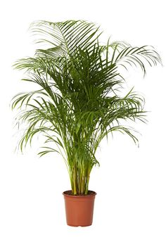 Puistokultapalmu non toxic to cats Green Plants, Cactus Plants, Pot Plants, Colorful Mountains, Popular Paintings, Modern Lighting Design, Lean To, Christmas Ornaments To Make, Cool Haircuts