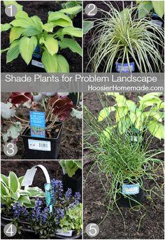 Shade Plants for Problem Landscapes   HoosierHomemade.com