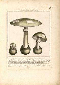 Champignon de France L'agaric Bulbeux