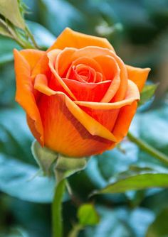 Rose Duet (Multi-Colored) Plant - Gallon Rose Duet Gallon Plant Combinations we offer at t Orange Flowers, Yellow Roses, Rose Flowers, Pink Roses, Flower Seeds, Flower Pots, Potted Flowers, Beautiful Roses, Beautiful Flowers