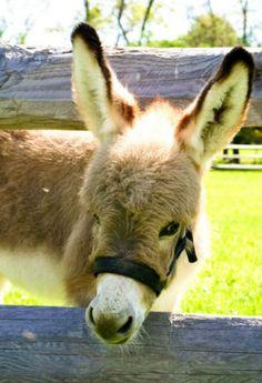 sun-kissed donkey