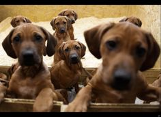 Seven Rhodesian Ridgeback puppies from a litter of 17 look out of their box in Nauen,