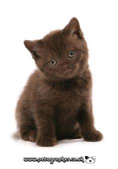 British shorthair kitten cat photograpy | Flickr