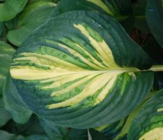 Hosta Ancient Mariners Rhyme