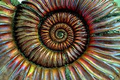 Ammonites are perhaps the most widely known fossil, possessing the typically ribbed spiral-form shell as pictured above. These creatures lived in the seas between 240 - 65 million years ago, when they became extinct along with the dinosaurs.