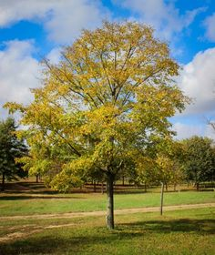 Accolade elm - Google Search Street Trees, Ash Tree, Golf Courses, Google Search