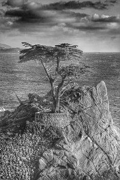 California Coast Photo Cypress Tree Photo by CharmantPhotography, $12.00