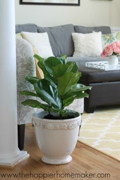Trendspotting: Fiddle leaf fig trees have made a name for themselves as a staple of stylish home decor this year! This is one of the first house plants Melissa of The Happier Homemaker bought for her new townhome. (Guess where she bought it!) || @Melissa-TheHappierHomemaker