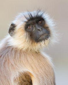 Nature Animals, Wild Animals, Funny Animals, Cute Animals, Primates, Mammals, Indian Monkey, Baboon, Animal 2