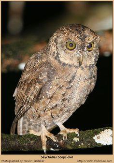 Taliabu Masked Owl Tyto nigrobrunnea - Google Search ... - photo#18