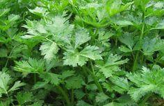 Manfaat daun seledri