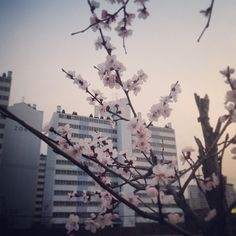 """@Graham Budd's photo: """"The cherry blossoms are out in Sokcho! #spring #korea #속조 #한국 #twitter"""""""