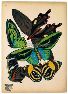 Papillon, Butterflies Plate 1