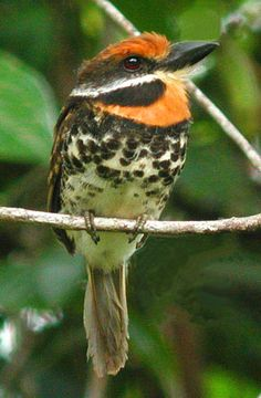 Spotted Puffbird: Bolivia/ Brazil/ Colombia/ Ecuador/ French Guiana/ Guyana/ Peru/ Suriname/ Venezuela