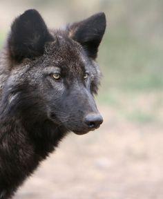 http://fc09.deviantart.net/fs51/i/2009/268/3/9/black_wolf_by_wildfotog.jpg